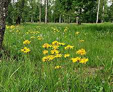 Arnica montana By Bernd Haynold (Own work) [CC BY-SA 2.5 (http://creativecommons.org/licenses/by-sa/2.5)], via Wikimedia Commons